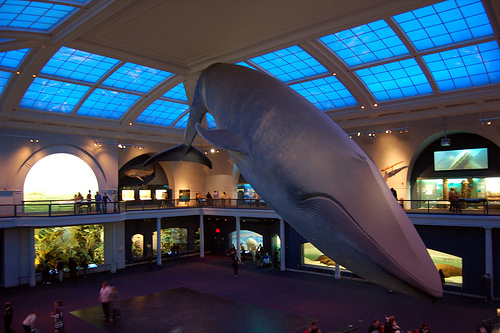 Giant Whale On Display At The American Museum Of Natural History