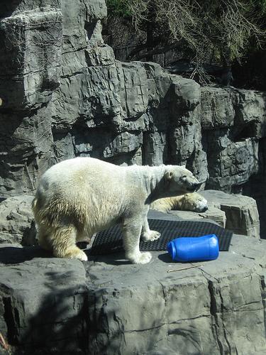 A Polar Bear From Central Park Zoo