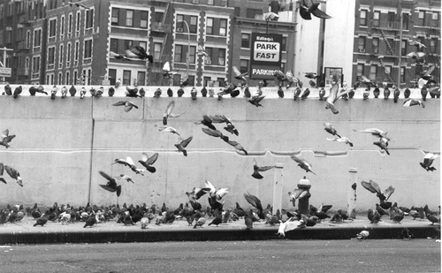 Pigeons Flock Beside The Entrance To The Lincoln Tunnel