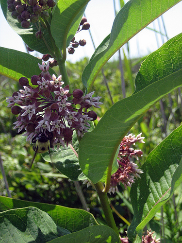 Beauty Defies This Milkweed On Long Island.