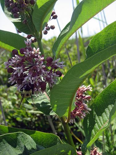 Beauty Defies This Milkweed On Long Island.