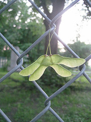 Maple Seeds Hung Over The Fence In Fort Greene, Located In North West Brooklyn