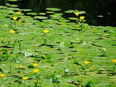 A Lovely Mass Of Water Lilies Floating On A Pond In Prospect Park (Brooklyn)