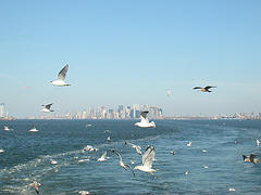 Seagulls Swooping Around The Staten Island Ferry, Looking Towards Manhattan
