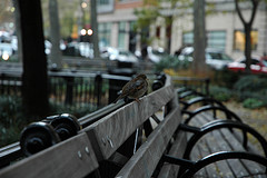A Local Inhabitant Of The Benches At Tribeca Park Off West Broadway In Nyc