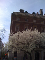 A Sunny Day With A Flowering Tree On The Upper East Side.