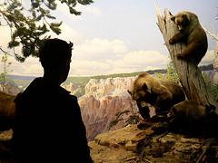 Panorama Of Grizzly Bears At The American Museum Of Natural History
