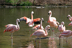 Flock Of Pink Flamingos At The Bronx Zoo