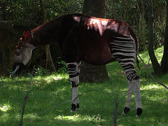 A Zebra Is Eating Grass On The Shadow Of The Tree In Bronx Zoo.