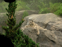 A Leopard Lounging At The Central Park Zoo
