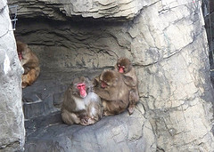 Snow Monkeys At Central Park Zoo, In New York City, Chain Grooming In Their Habitat.