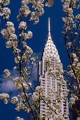 Looking Through Cherry Blossoms At The Chrysler Building