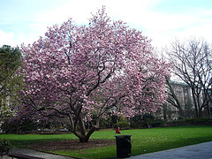 Cherry Tree Blooms In Spring On The Campus Of Columbia University