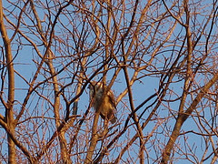 A Hawk Sits In Bare Branches At The New York Botanical Garden