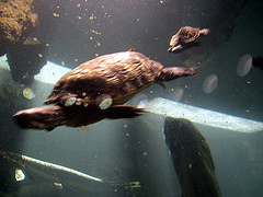 Massive Turtles Swimming At The Prospect Park Zoo In New York City