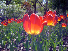 Tulips In Full Bloom At The Washington Square Park.